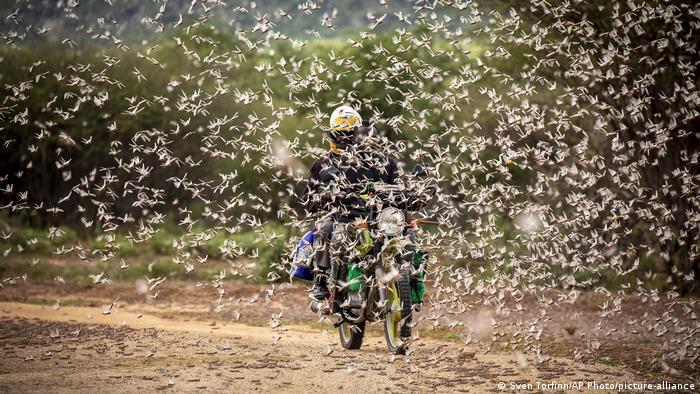 A motorcyclist rides through a swarm of locusts.