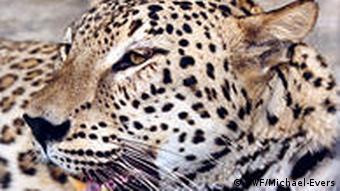 A Caucasian leopard
