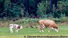 BdT | Neusath - Ausgebüxte Kuh hat Kalb bekommen