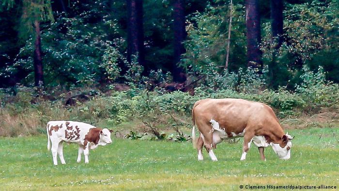 Корова с теленком на опушке леса около города Наббурга в Баварии