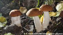 Красный подосиновик (нем. Laubwald-Rotkappe, лат. Leccinum aurantiacum)