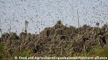 Heuschreckenplage in Gaborone, Botswana