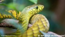 Green Mamba Snake Quelle: http://www.flickr.com/photos/nathaninsandiego/4023557229/