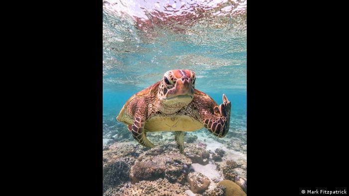 A sea turtle off the coast of Lady Elliot Island, Queensland, Australia (Mark Fitzpatrick/Comedy Wildlife Photography Awards)