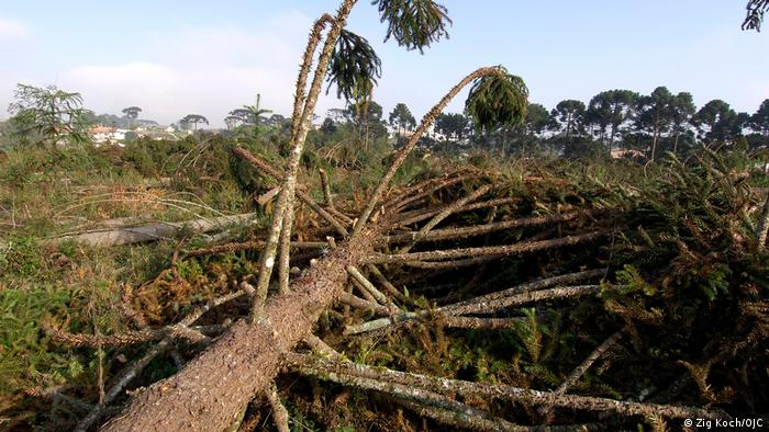 Brasilien Paraná | Wälder | Abholzung (Zig Koch/OJC)