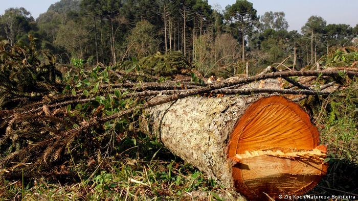Brasilien Paraná | Wälder | Abholzung