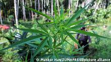 BM, esrarı tehlikeli uyuşturucular listesinden çıkartma kararı aldı