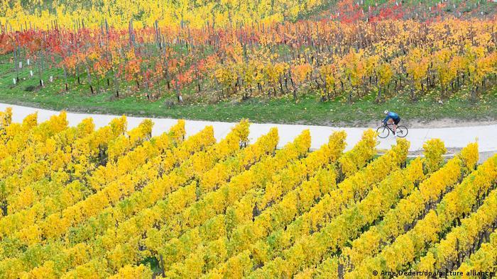Jesen je, vreme grožđa i vina. I biciklista uživa u vožnji među vinogradima pored Rideshajma u nemačkoj pokrajini Hesen.
