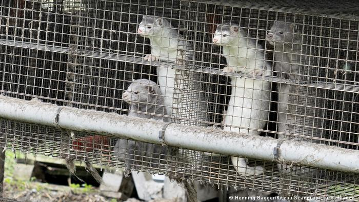 Minks in cages