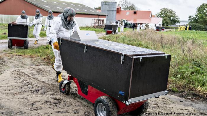 Dänemark Corona-Pandemie   Nerz-Farm