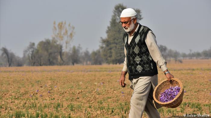 Indien Kaschmir |Safran-Ernte (Gulzar Bhat/DW)