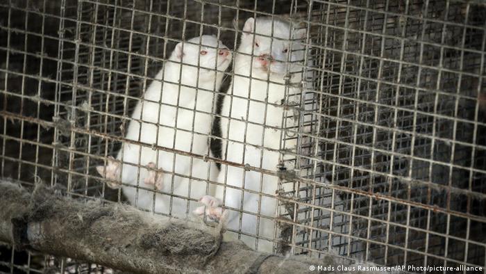 Two white minks in Denmark