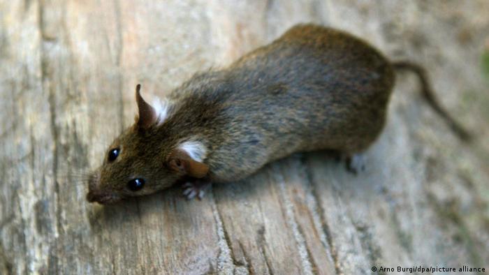 Infekcja możliwa jest również po kontakcie ze szczurami dzikimi lub domowymi