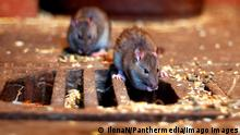 Rats near a manhole cover