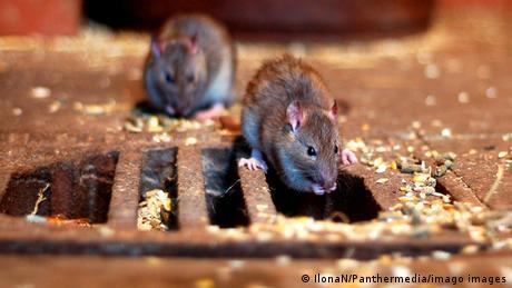 Rats near a manhole cover