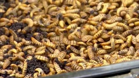 Eco Africa - Turning black soldier flies into superfood