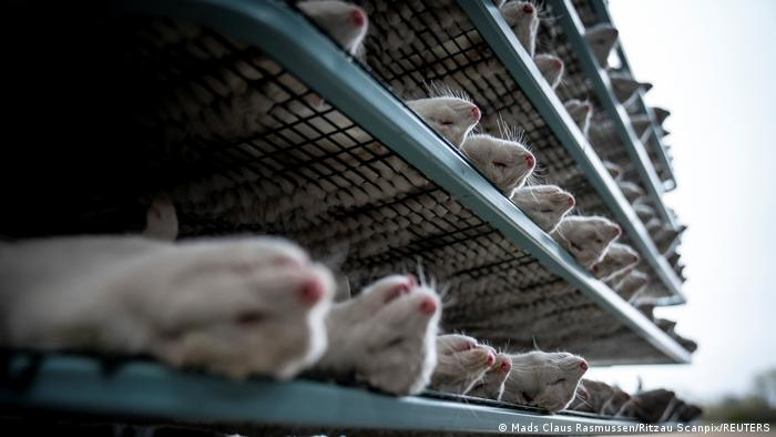 Rows of minks lie dead on metal shelves in Denmark