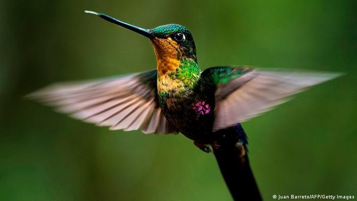 Biodiversidad de aves en Colombia. Colibrí.