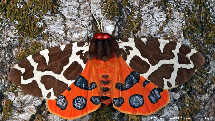 BdT Schmetterling des Jahres 2021