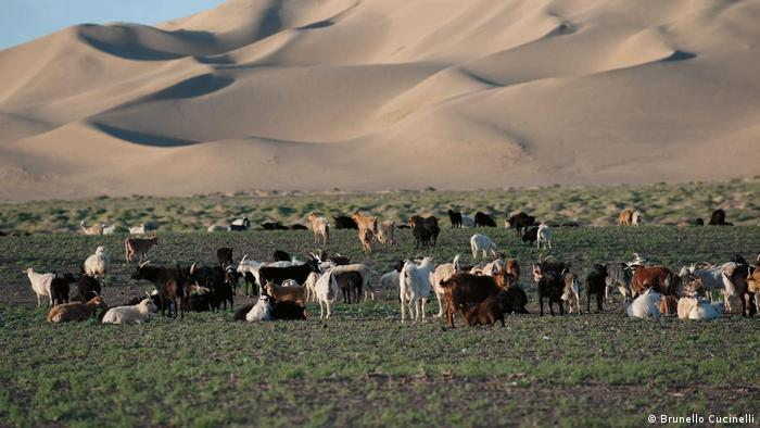 Goats in Mongolia supply much of cashmere that Cucinelli needs