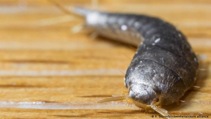 Silverfish (Lepisma saccharina) (R. Sturm/blickwinkel/picture alliance )