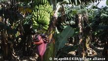 Costa Rica Bananenplantage an der karibischen Küste