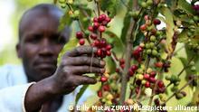 Kenia Kaffee-Ernte | Kericho