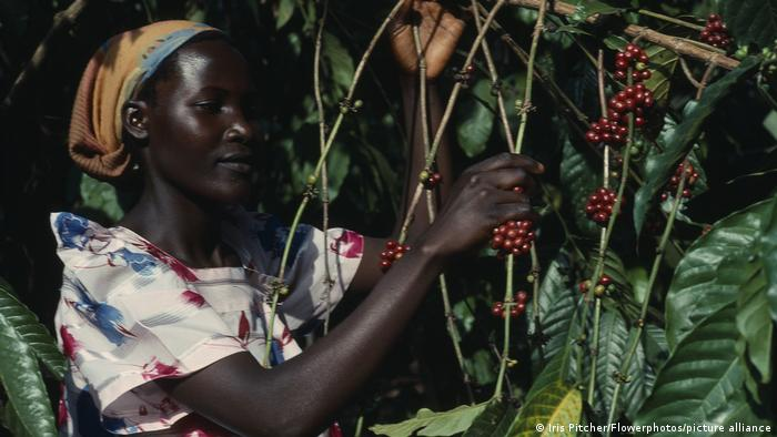 Ugandan woman harvests Arabica coffee | Strauch