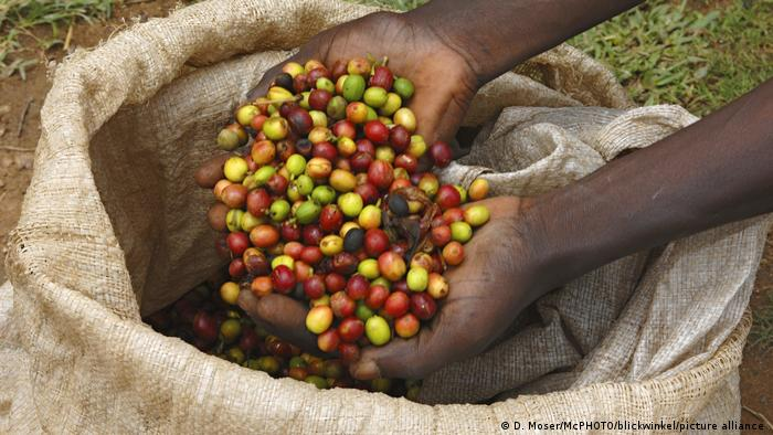 Handful of freshly harveste coffee beans