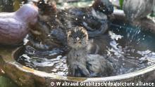 BdT Deutschland Spatzen baden in Vogeltränke