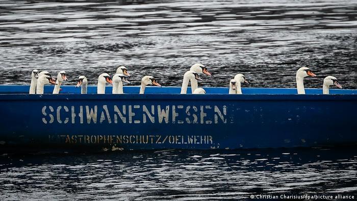 I ove jeseni, Olaf Nis i njegove kolege, specijalnim čamcima transportuju labudove sa reke Alster u Hamburgu, u zimovnik u obližnjem jezeru Eperndorfer Milentajh. Tamo posebna pumpa omogućava da se led nikada ne zadržava na površini vode. Labudovi će biti vratićeni na Alster tek na proleće.