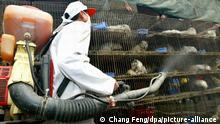 Ein Arbeiter desinfiziert am 6.1.2004 auf einem Wildtiermarkt in Guangzhou Käfige mit Larvenrollern. Der aktuelle bestätigte Sars-Fall ist nach Angaben von Wissenschaftlern möglicherweise auf Wildtiere zurückzuführen, die in Südchina als Delikatesse verspeist werden. Die Gesundheitsbehörden in Guangdong ordneten sofort die Tötung von schätzungsweise 10000 Larvenrollern an, einer Schleichkatzenart. Zusätzlich wurden alle Wildtiermärkte geschlossen. Die WHO zeigte sich besorgt über die Massenschlachtung, die eine potenzielle Infektionsgefahr darstelle. WHO-Experte Jeffrey Gilbert sagte allerdings, es gebe zwar Hinweise, aber bislang keine bestätigte Ansteckung durch die wilden Tiere. |