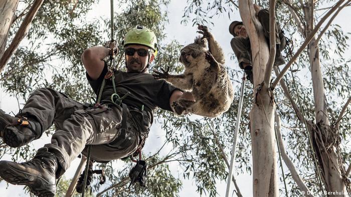 Kai Wild rescues a Koala on Kangaroo Island, Australia
