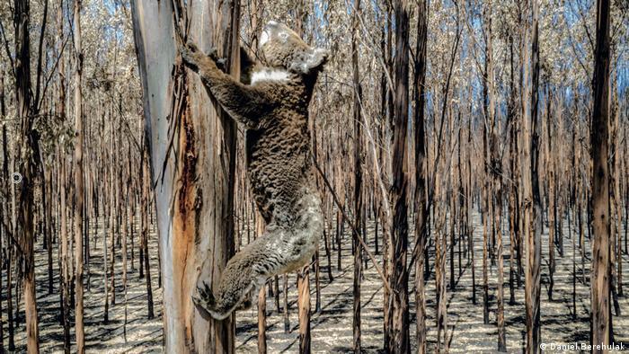 A wild koala scales a gum tree in burned bush on Kangaroo Island
