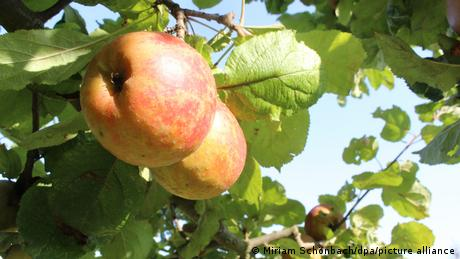 Ripe apples of the historical Alkmene variety hanging from a tree.