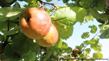 """Manzanas maduras de la variedad histórica """"Alkmene"""" en un árbol."""