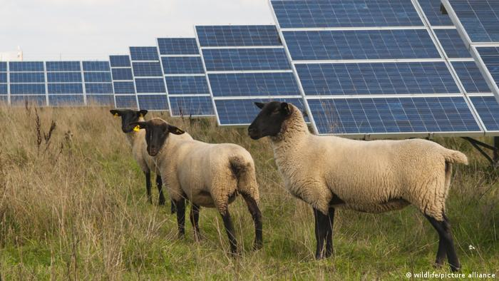 Sheep among solar panels in Germany