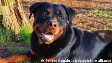 HANDOUT - 01.01.2020, Niedersachsen, Osnabrück: Der Rottweiler Magnus liegt vor einem Baum. Der Hund hat es nicht in den Polizeidienst im Norden geschafft. Die Ausbildung von Magnus wurde beendet, weil das Tier einen wichtigen Zwischentest nicht bestanden hat. (zu dpa Rottweiler Magnus ist zu lieb für den Polizeidienst) Foto: --/Polizei Osnabrück/dpa - ACHTUNG: Nur zur redaktionellen Verwendung im Zusammenhang mit der aktuellen Berichterstattung und nur mit vollständiger Nennung des vorstehenden Credits +++ dpa-Bildfunk +++ |