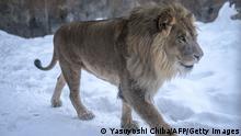 Japan Löwe im Zoo