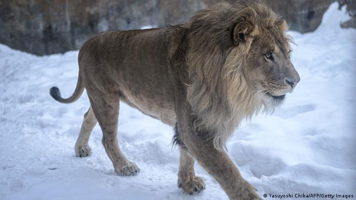 A male lion walking on snow at the Asahiyama zoo in Asahikawa, northern Japan