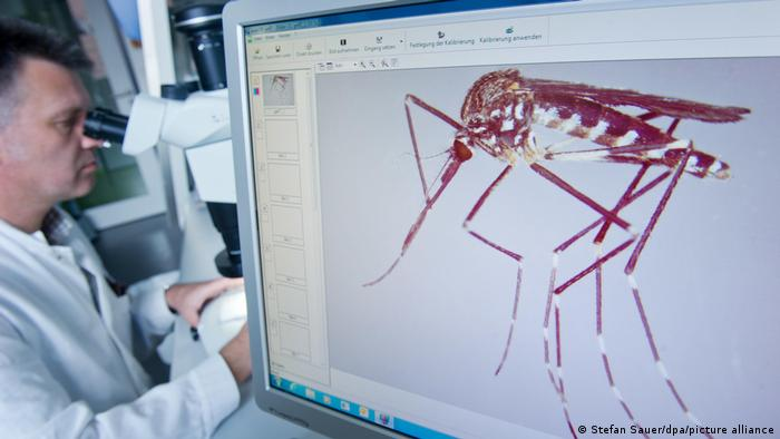 Helge Kampen working at a microscope, studying mosquitos