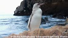 Ecuador Galapagos | Weißer Pinguin