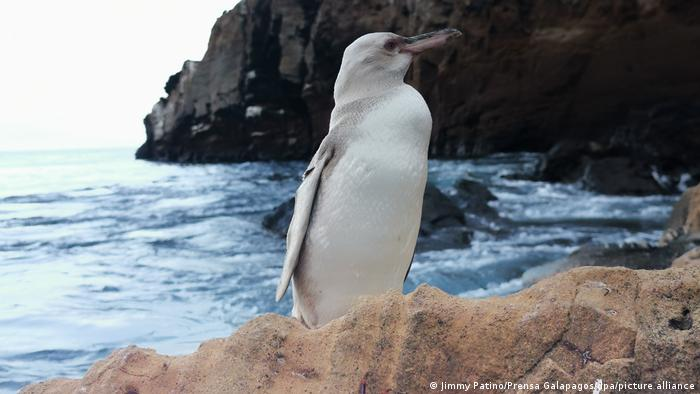 A rare white penguin on the Galapagos Islands