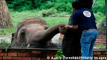 A veterinarian of Four Paws International examines Kaavan