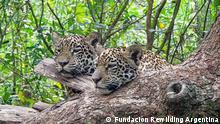 Jaguar im Lateinamerika