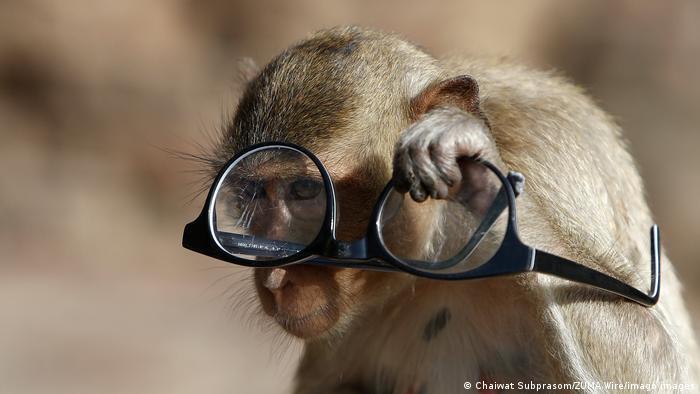 """Pentraju se po ljudima i vole koka-kolu koju im kupuju turisti: makaki rakojedi u gradiću Lopburiju, severno od Bangkoka. Ovih dana je festival """"banket za majmune"""", kada im posetioci nude mnogo hrane. Tokom pandemije, kada nema turista, oko 4.500 makakija dobija manje hrane pa je došlo do """"rata majmunskih bandi"""" – naime, podeljeni su u tri grupe koje žive u hramu, napuštenom bioskopu i kod hotela."""