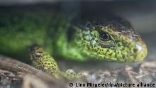 BdT | Oberboihingen | Zauneidechse Reptil des Jahres