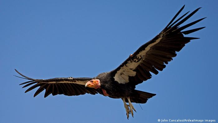 A large black condor with pink head soars open-winged through a blue sky