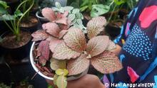 Indonesien Pflanze Mix Fittonia