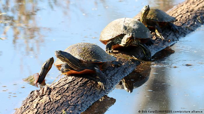 Painted turtles walking on a log in a lake